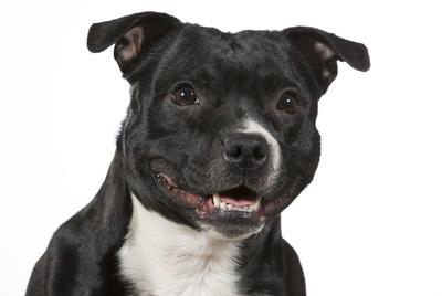 American Staffordshire Terrier / Amstaff