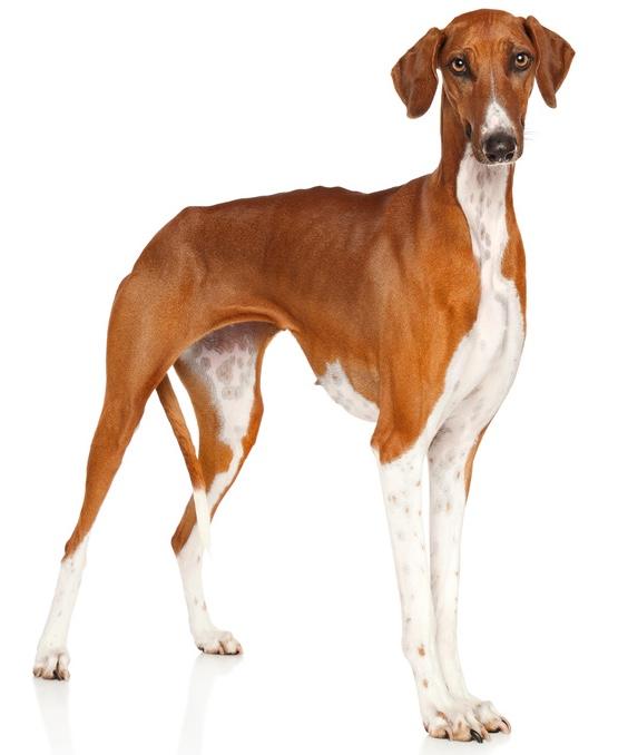Azawakh Hund
