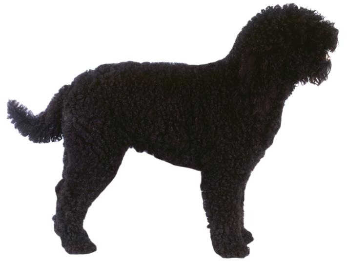 Barbet Hund