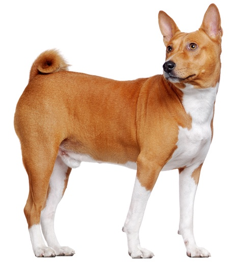 Basenji Hund