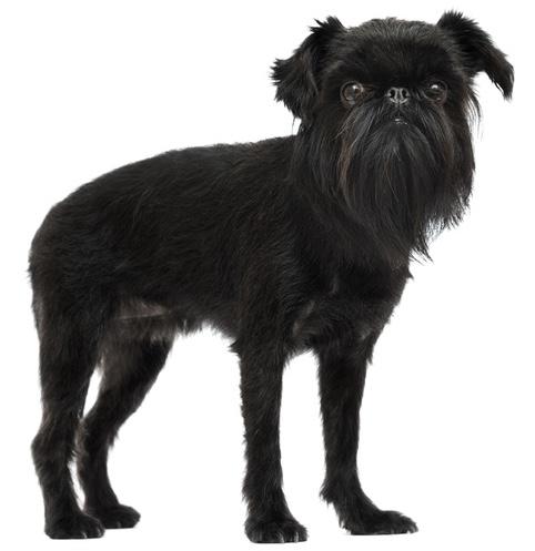 Belgischer Griffon / Hund