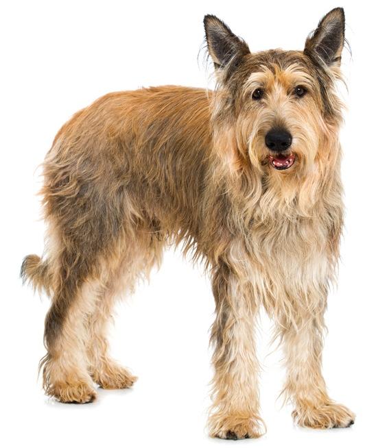 Berger De Picardie / Hund