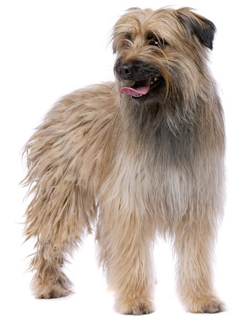 Berger Des Pyrenees / Kurzhaar Hund