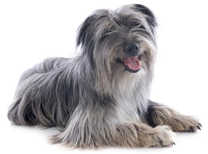 Berger Des Pyrenees / Langhaar Hund