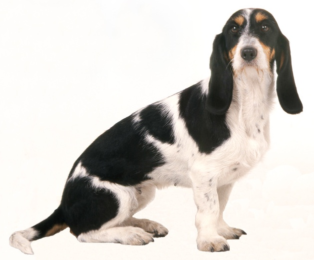 Berner Laufhund / Schweizer Laufhund