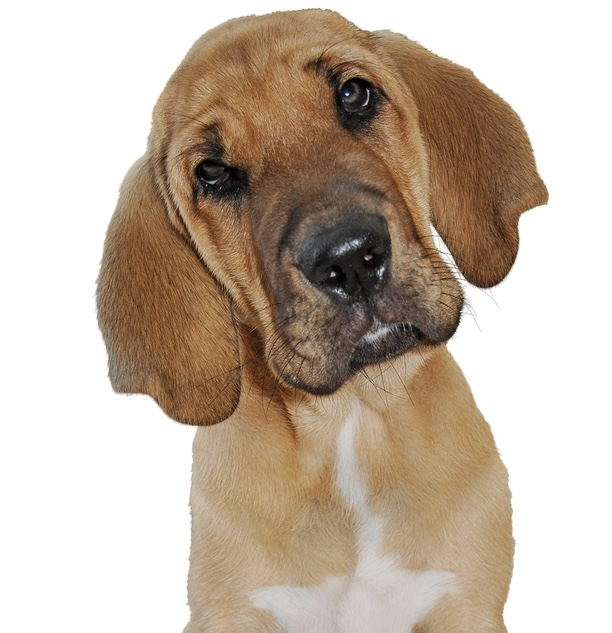 Broholmer Hund